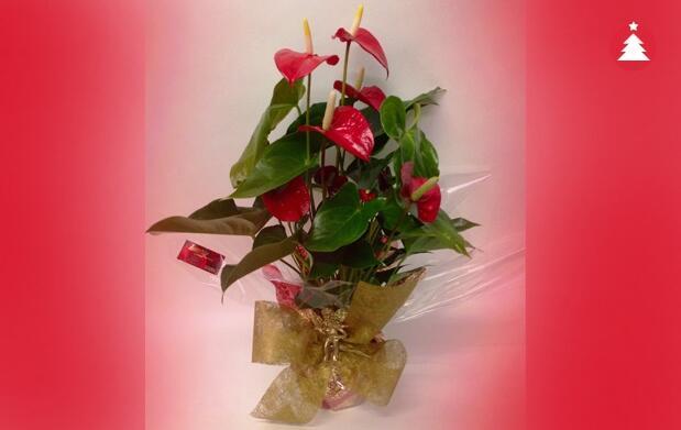 Anthurium con decoración Navideña 14,95€