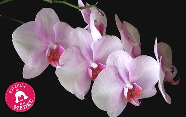Maceta Orquídea de 2 tallos por 19 €