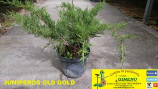 Oferta en arbusto, conífera y olivos formato mini