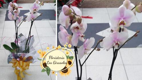 Preciosa orquídea para regalar