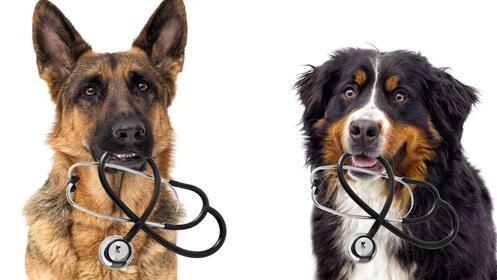 Consulta veterinaria: vacuna de la rabia y chequeo para perro