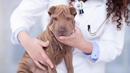 Vacuna de la rabia y chequeo completo para perro 14,90€